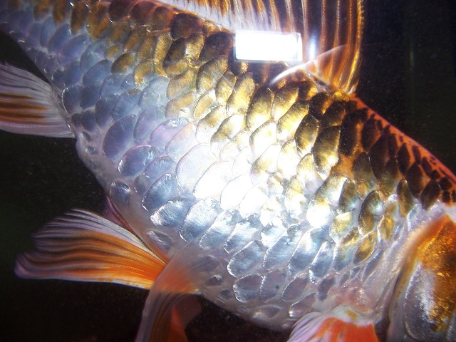 gallery for koi fish scales