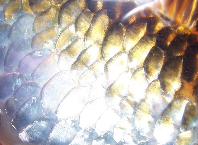 Gallery for koi fish scales for Koi fish scales